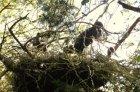 Ochrana bociana čierneho v Malých Karpatoch